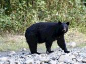 bc-bears4